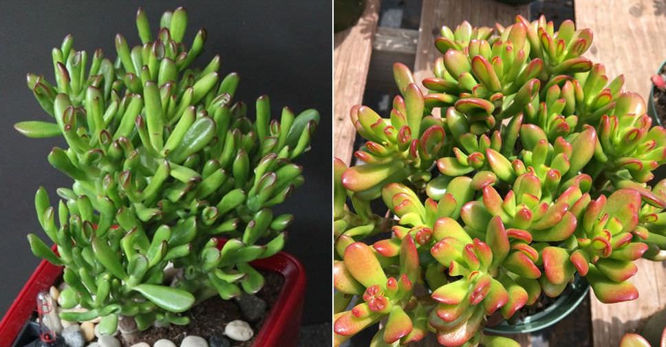 Crassula Ovata Hobbit Hobbit Jade World Of Succulents