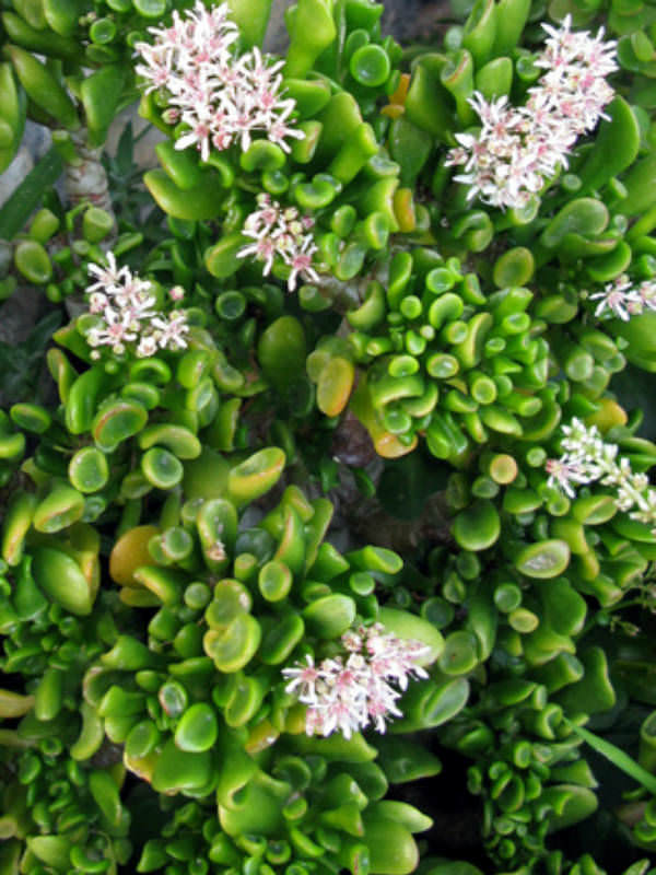 crassula ovata 39 hobbit 39 hobbit jade plant finger jade. Black Bedroom Furniture Sets. Home Design Ideas