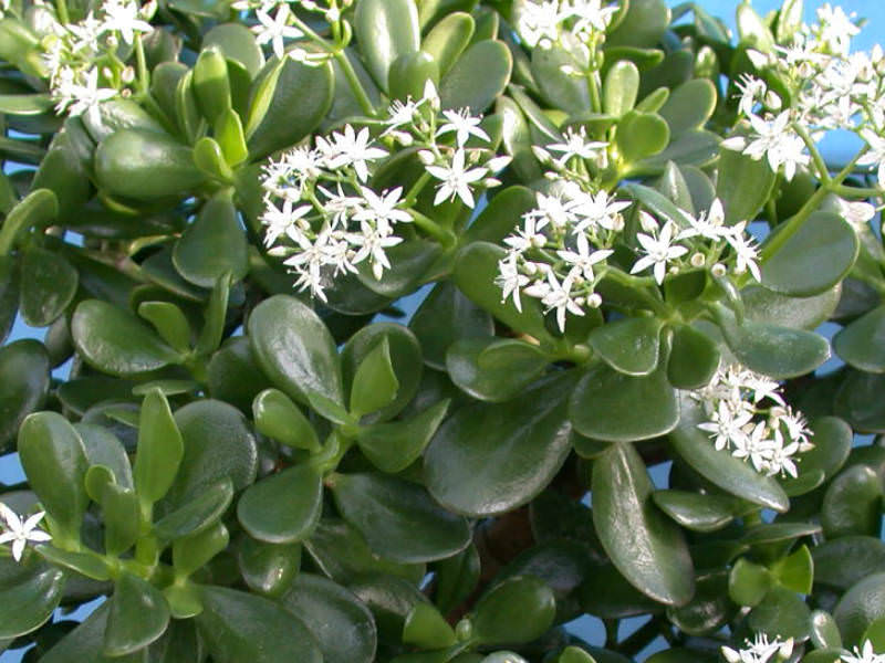 Uses Of Jade Plant In Folk Medicine World Of Succulents