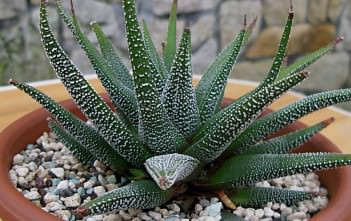 Haworthiopsis attenuata var. radula (Hankey Dwarf Aloe)