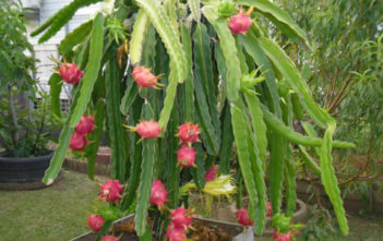 Hylocereus undatus (Dragon Fruit)