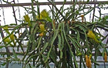 Hylocereus undatus - Night Blooming Cereus Dragon Fruit