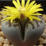 Lithops dorotheae (Living Stones)