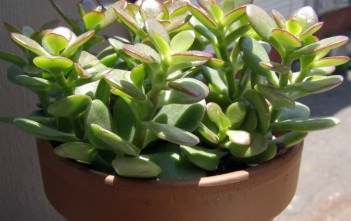 Money Plant - The Ultimate Symbol of Prosperity