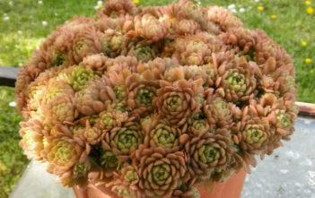 Rosularia aizoon
