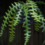 Selenicereus anthonyanus (Fish Bone Cactus)