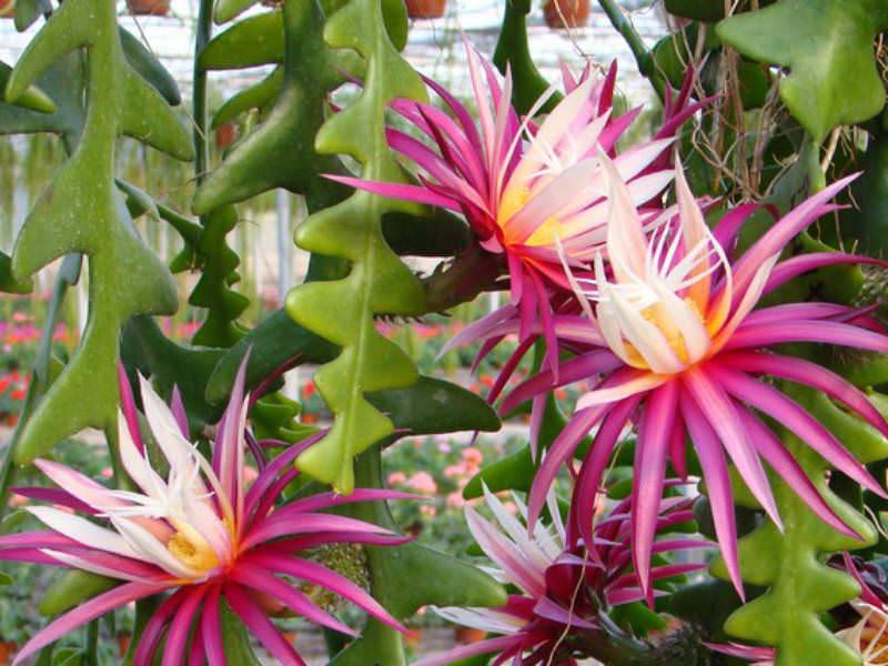 Cryptocereus anthonyanus  Cactus King