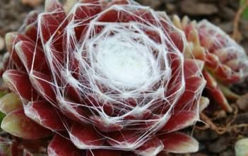 Sempervivum arachnoideum subsp. tomentosum - Woolly Cobweb Houseleek