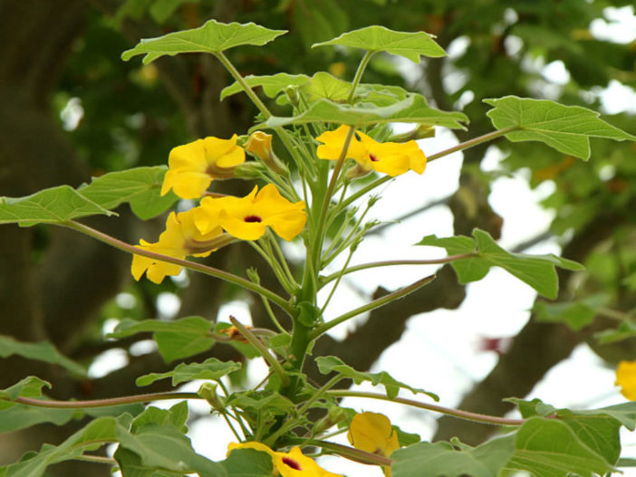 Uncarina decaryi - Succulent Sesame Mouse Trap Tree