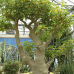Uncarina decaryi - Succulent Sesame, Mouse Trap Tree