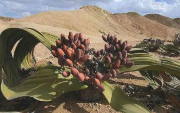 Welwitschia mirabilis - Tree Tumbo