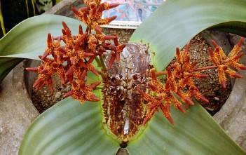 Welwitschia mirabilis - Tree Tumbo, Tumboa