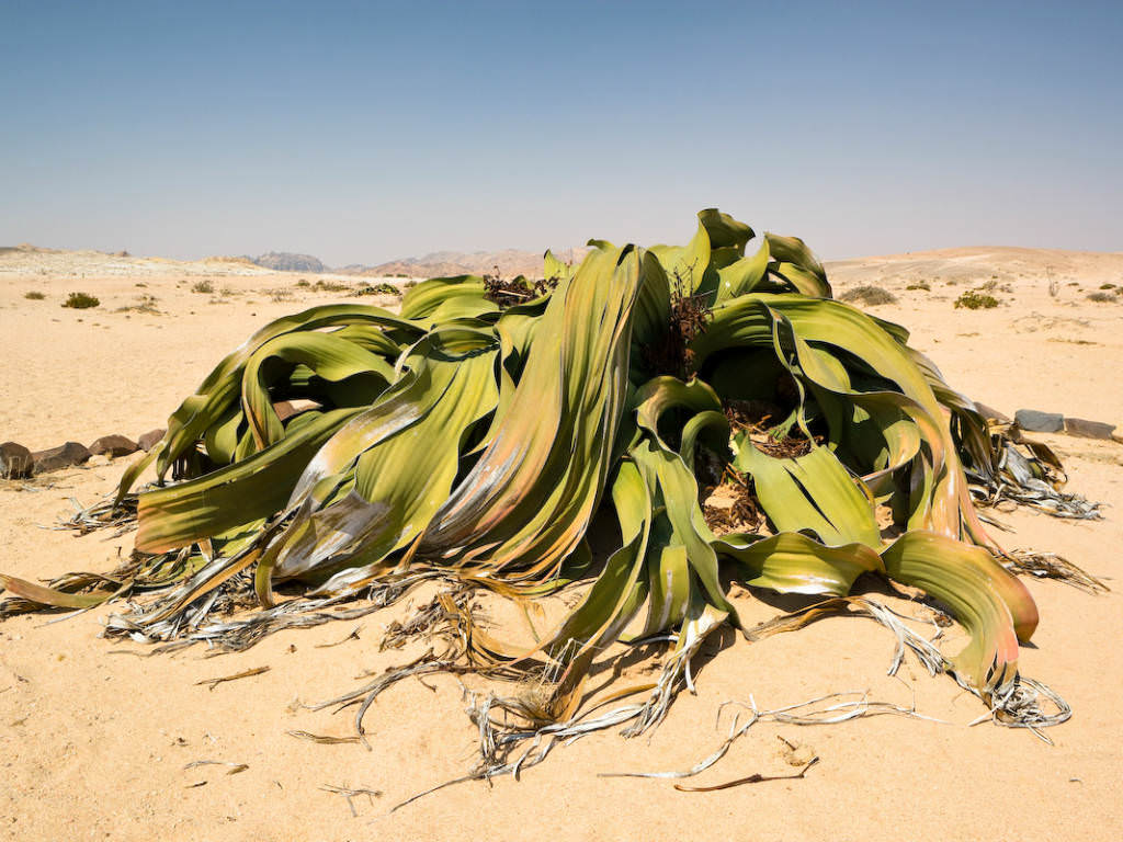 Welwitschia Mirabilis Tree Tumbo Tumboa World Of