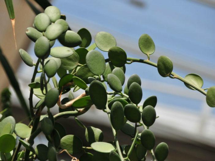 Xerosicyos danguyi – Silver Dollar Plant Dollar Vine