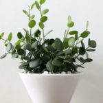 Xerosicyos danguyi - Silver Dollar Plant