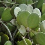 Xerosicyos danguyi – Silver Dollar Plant, Dollar Vine