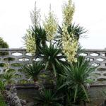 Yucca gloriosa - Spanish Dagger Roman Candle