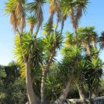 Yucca gloriosa - Spanish Dagger