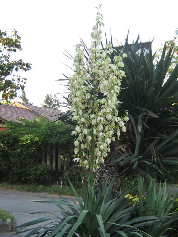Yucca Gloriosa Spanish Dagger Roman Candle World Of