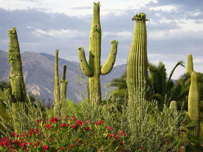 Carnegiea gigantea - Saguaro Giant Cactus