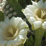 Carnegiea gigantea - Saguaro, Giant Cactus