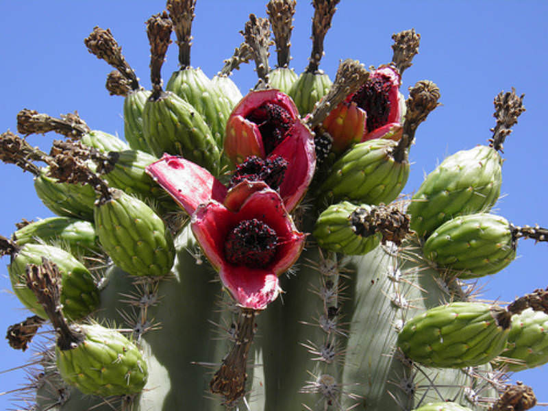 Edible Cacti And Succulent Plants World Of Succulents