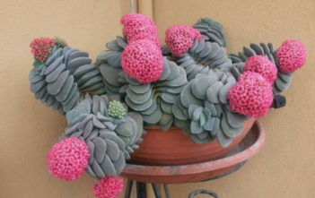 Crassula 'Morgan's Beauty'