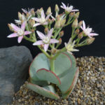 Crassula arborescens (Silver Dollar Plant)