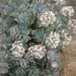 Crassula arborescens - Silver Dollar Plant