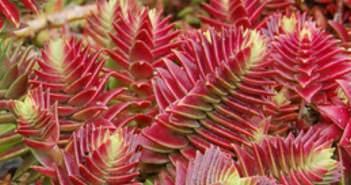 Crassula World Of Succulents