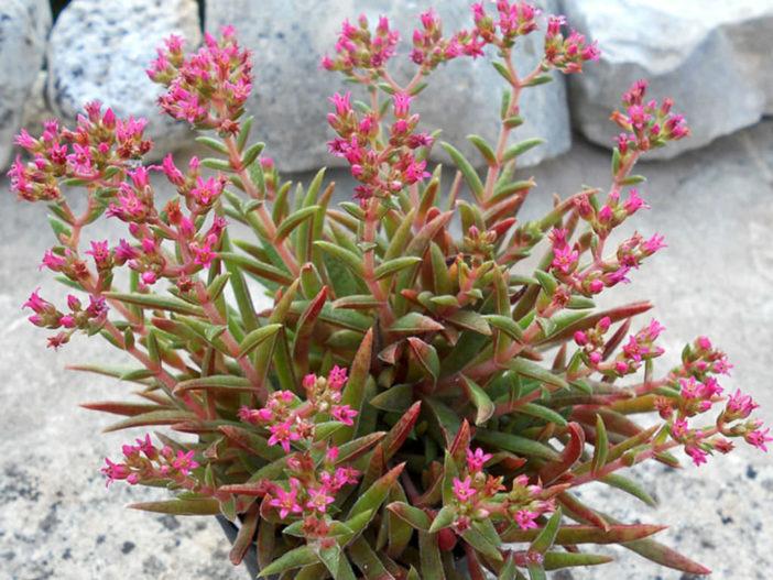 Crassula exilis subsp. schmidtii (Fairy Tongue)