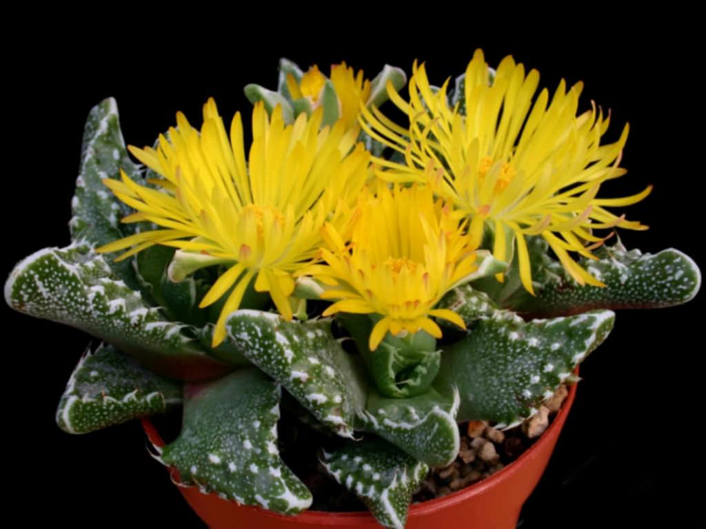 Faucaria tuberculosa soto Cactus Cacti Succulent Real Live Plant