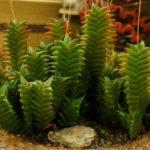 Haworthiopsis viscosa aka Haworthia viscosa