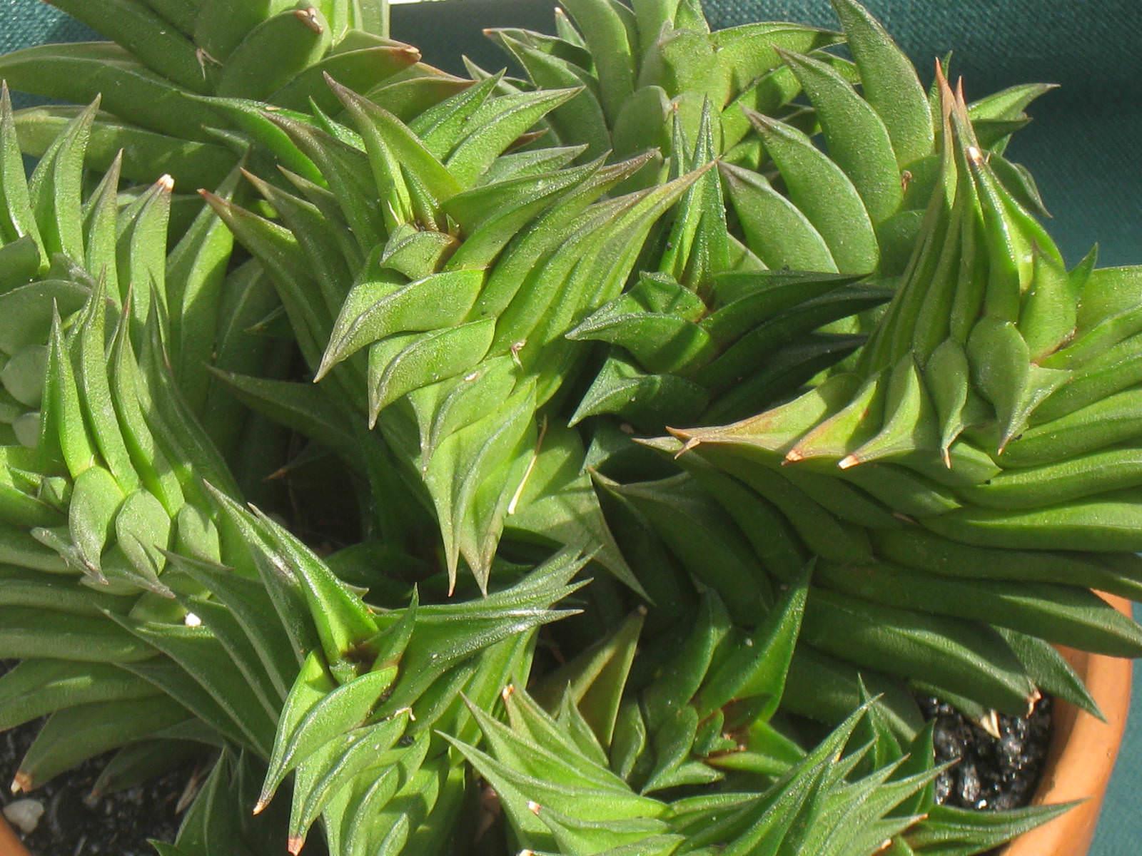 Haworthia viscosa | World of Succulents