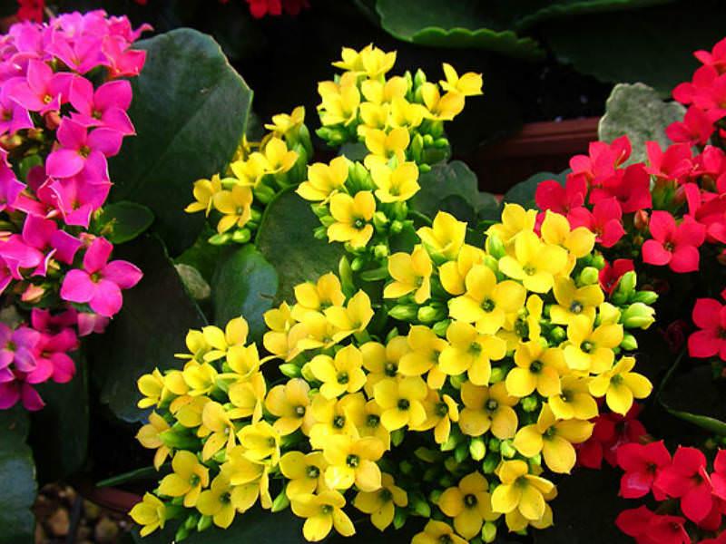 Kalanchoe blossfeldiana flaming katy world of succulents for Indoor gardening diana yakeley