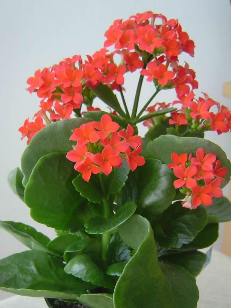 kalanchoe blossfeldiana flaming katy world of succulents