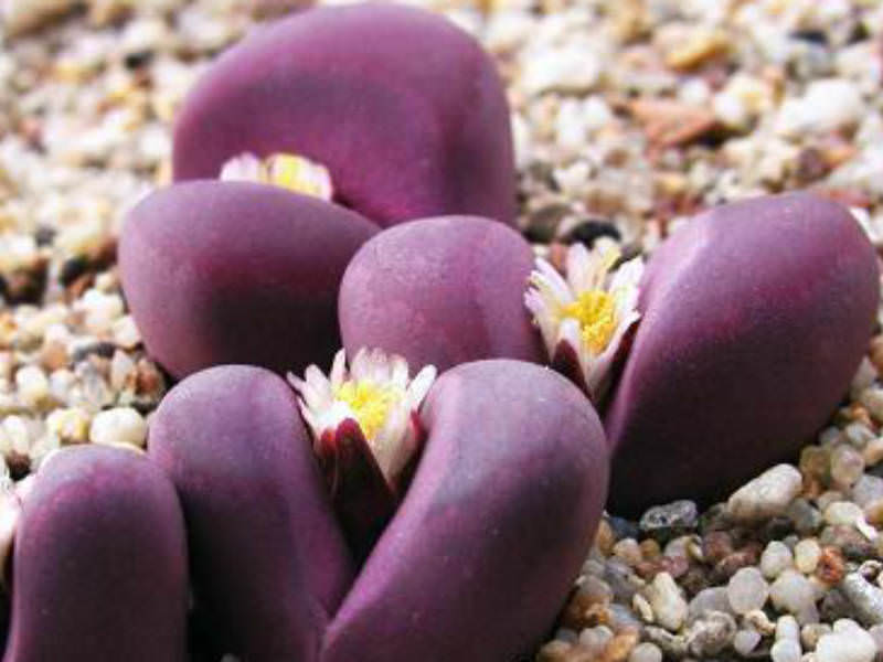 Lithops Optica Rubra Living Stones World Of Succulents