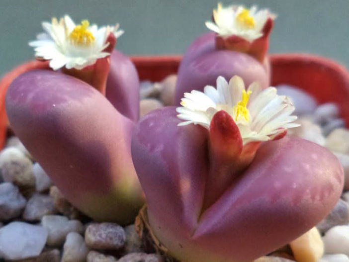 Lithops optica 'Rubra' (Living Stones)