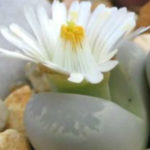 Lithops optica (Living Stones)