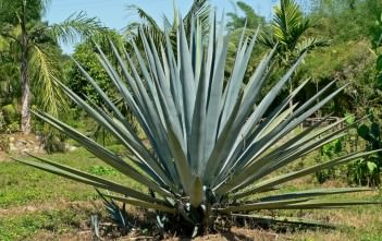 Agave tequilana - Blue Agave Tequila Agave