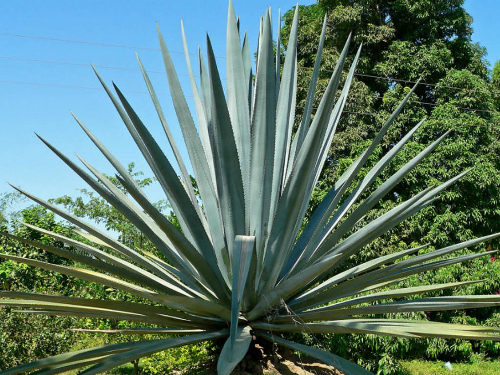 Blue Agave Tequila Plant Agave-tequilana-Tequila-Agave1 jpg