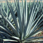Agave tequilana - Blue Agave, Tequila Agave