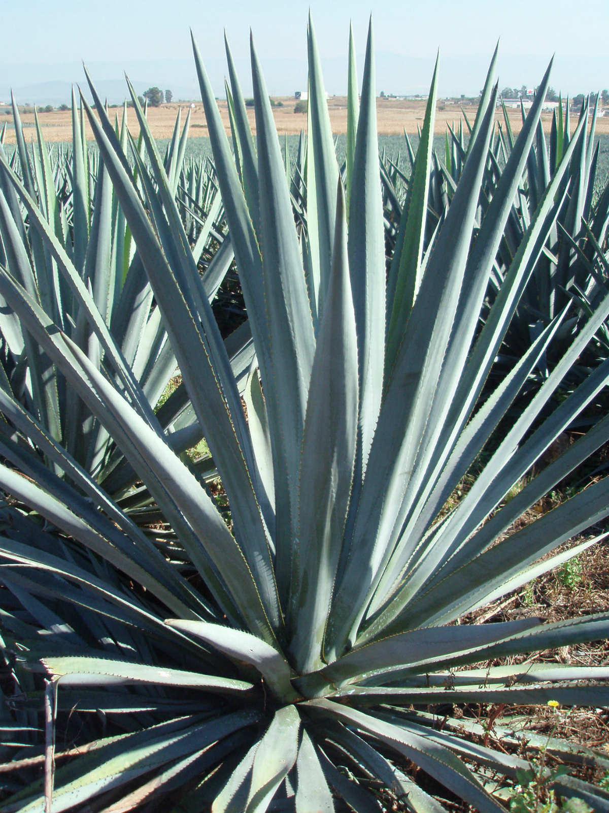 Agave Century Plant Blue - VerdeGo |Blue Agave Plant