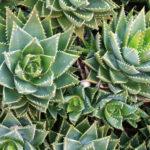 Aloe perfoliata (Mitre Aloe)