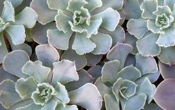 Echeveria shaviana - Mexican Hens and Chicks