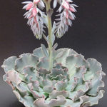 Echeveria shaviana (Mexican Hens and Chicks)