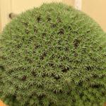 Deuterocohnia brevifolia