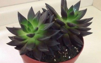 Echeveria affinis (Black Echeveria)
