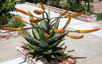 Aloe marlothii (Mountain Aloe)