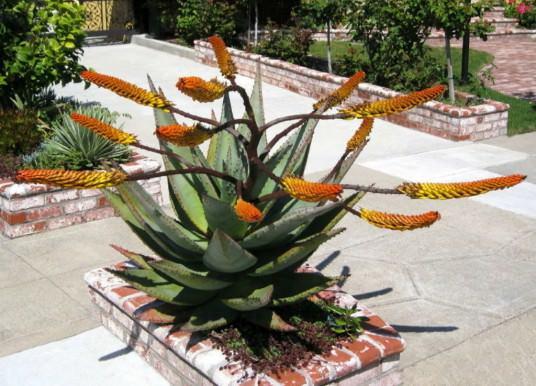 Aloe marlothii (Mountain Aloe)